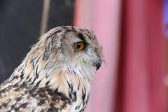 Portrait of western Siberian eagle-owl (Bubo bubo sibiricus).  Royalty Free Stock Image