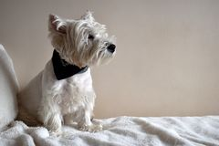 Portrait of a Westie, West Highland White Terrier Puppy. royalty free stock photos
