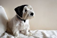 Portrait of a Westie, West Highland White Terrier Puppy. stock images