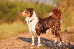 Portrait of a wet Australian Shepherd Royalty Free Stock Photography