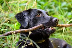 Black Labrador with a stick. Portrait of a wet black Labrador with a stick in it`s mouth Royalty Free Stock Images