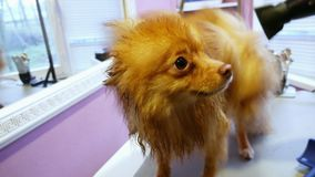 Portrait of wet dog spitz at the reception at the groomer stock video