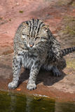 Portrait of wet fishing cat looking at camera Royalty Free Stock Photography
