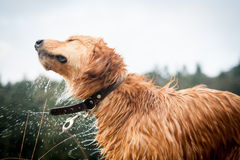 Portrait of a wet Golden Retriever Stock Photos