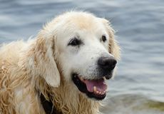 Portrait of wet golden retriever dog after swimming in sea Royalty Free Stock Image