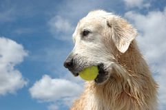 Portrait of wet golden retriever dog with yellow tennis ball. At the blue sky Stock Images