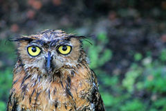 Portrait wet great horned owl. Portrait wet wet north american great horned owl bubo virginianos facing camera. south florida Stock Photos