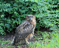 Portrait wet great horned owl. Portrait wet wet north american great horned owl bubo virginianos facing camera. south florida Royalty Free Stock Photo
