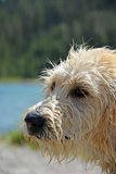 Portrait of the wet Labradoodle poppy Stock Photography