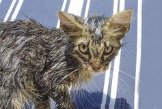 Portrait of a wet tabby cat after a bath in blue and white line. Portrait of a baby wet tabby cat after a bath in blue and white lines as background Royalty Free Stock Photos