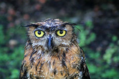 Portrait wet great horned owl Stock Photo