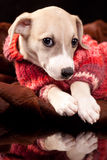 Portrait of a whippet pupp Stock Images