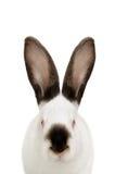 Portrait of a white albino rabbit Stock Images