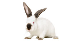 Portrait of a white albino rabbit Royalty Free Stock Photos
