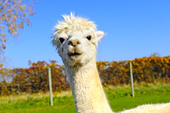 Portrait of a White Alpaca Stock Photos
