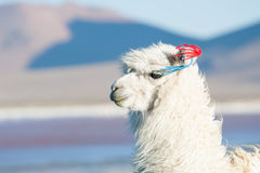 Portrait of white alpaca. Stock Images