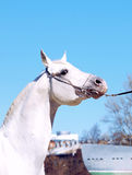 Portrait of the white arabian Stock Images