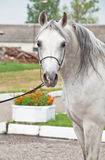 Portrait of white arabian horse Stock Photo
