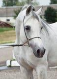 Portrait of white arabian horse Royalty Free Stock Images