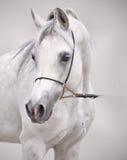 Portrait of white arabian horse at grey background Stock Photos