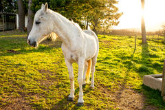 Portrait of a White Arabian Horse Royalty Free Stock Images