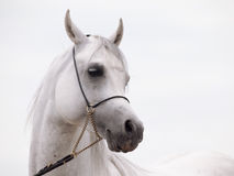 Portrait of white arabian stallion at cloudy background Stock Images