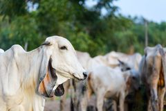 Portrait of white asian cow on cow herd background stock photo