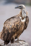 Portrait  of a white-backed african vulture perched on unturned Stock Image