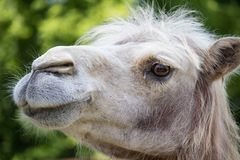 Portrait of white Bactrian camel with blured background royalty free stock images