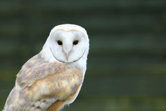 Portrait of White Barn owl (Tyto alba) Royalty Free Stock Images