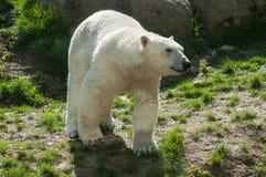 White bear walking in the grass. Portrait of white bear walking in the grass royalty free stock image