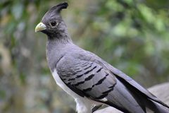 Portrait of a White Bellied Go Away Bird in South Africa stock images