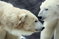 Portrait of white big animal polar bear with second blurred bear in bacgroun and snow flakes. Russia Stock Photography