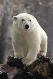Portrait of white big animal polar bear with second blurred bear in bacgroun and snow flakes. Russia stock photos