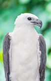 The portrait of White-billed sea eagle Royalty Free Stock Photography