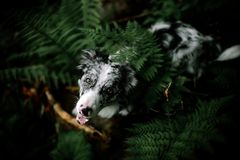 Portrait of white and black dog border collie with big ears looking up watching over the fern tongue stock images