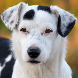 Portrait of a white and black dog Stock Image