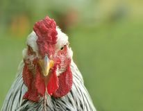 Portrait of a beautiful rooster Stock Photography