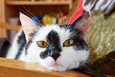 Portrait of white with black spots cat Royalty Free Stock Photography