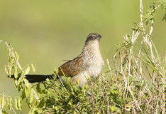 Portrait of a White-browed Coucal Royalty Free Stock Image