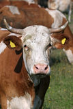 Portrait of white brown cow Stock Photo