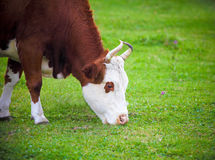 Portrait of the white and brown cow Stock Image