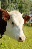 Portrait of white and brown cow on a pasture Stock Image