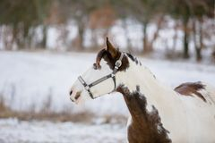 Portrait of white and brown paint horse royalty free stock image