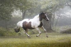 Beautiful paint horse galloping in a forest in a foggy morning stock photography