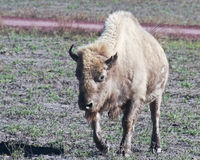 A Portrait of a White Buffalo, Bison bison Royalty Free Stock Photo