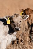 Portrait white calf with brown calf behind stock photos
