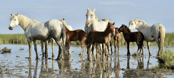 Portrait of the White Camargue Horse with a foal Stock Image