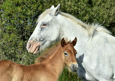 Portrait of the White Camargue Horse with a foal Royalty Free Stock Photo