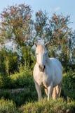 Portrait of the White Camargue Horse Stock Photos